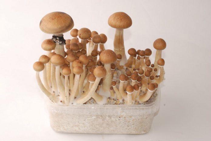 Thai Magic Mushrooms for Sale in Canada