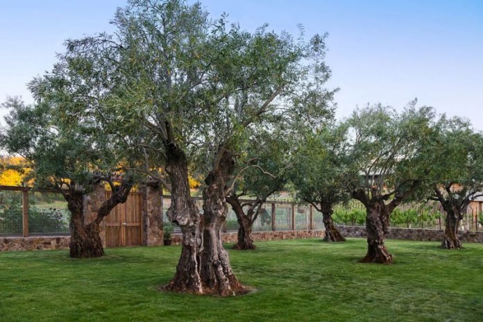 Specimen Olive Trees